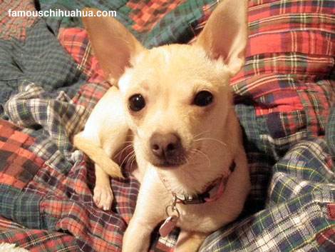 the miraculous story of olive, a chihuahua that was run over on the highway and survived!