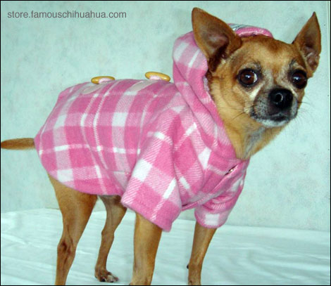 teaka the famous chihuahua models her super cute winter coat from the famous chihuahua clothing store!