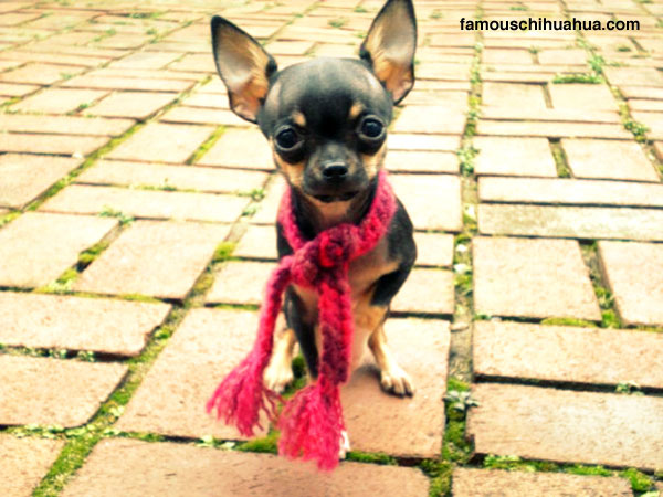 stand back or else little miss bella luna the chihuahua will walk all over you!