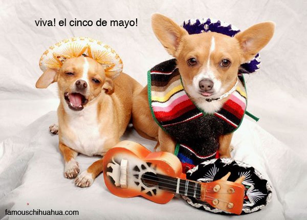 chihuahuas kayla and pico sit pretty in their mexican sombreros in celebration of cinco de mayo! post your chihuahua sombrero picture!