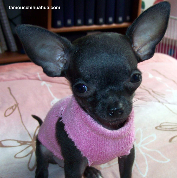 lupita the tiny teacup deerhead chihuahua puppy poses pretty for mommy