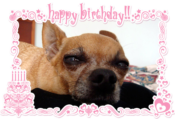 teaka the famous chihuahua celebrates her birthday and famouschihuahua.com declares may 14th international chihuahua appreciation day!