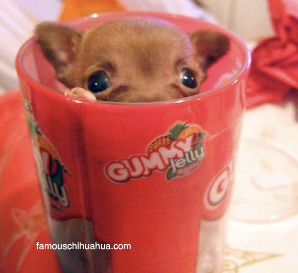are teacup chihuahuas tiny chihuahuas that fit into a cup?