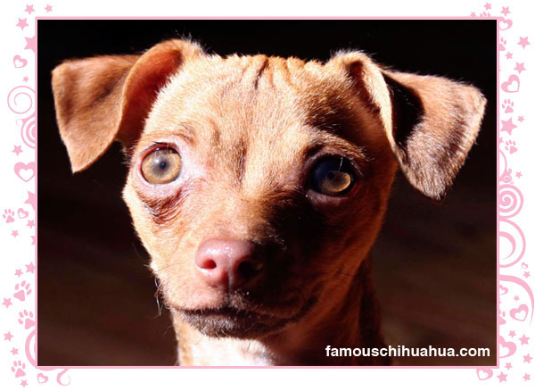 baby lucia, the adorable deerhead chihuahua puppy from brooklyn new york!