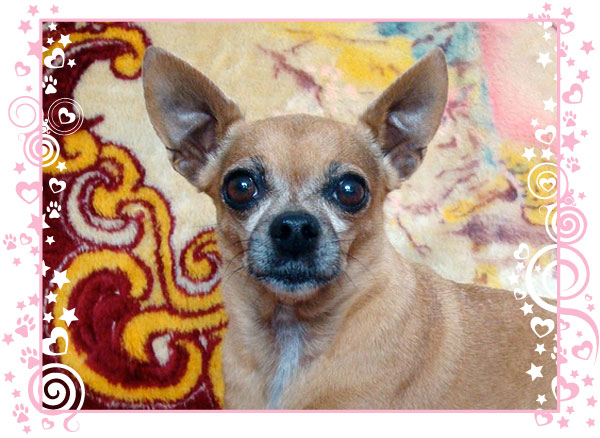 teaka the famous chihuahua is on mission to find homes for chihuahuas everywhere! post your FREE chihuahua classified ad today!