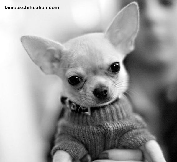 my ears are so big that if i tried to fly, i think i could! tyson the flying chihuahua!