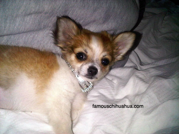 messi, the playful teacup-sized long-haired chihuahua!