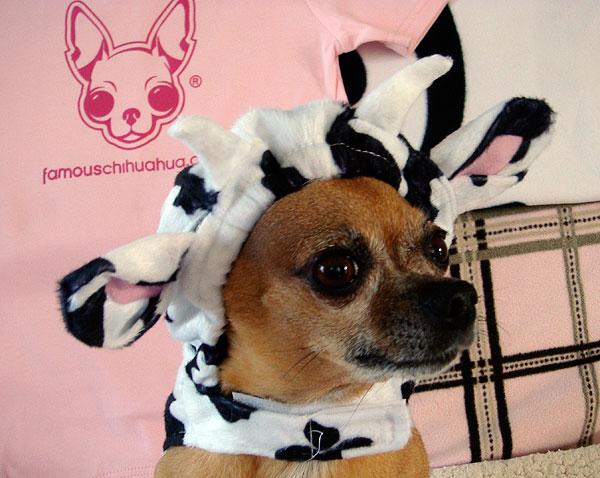 cute chihuahua cow