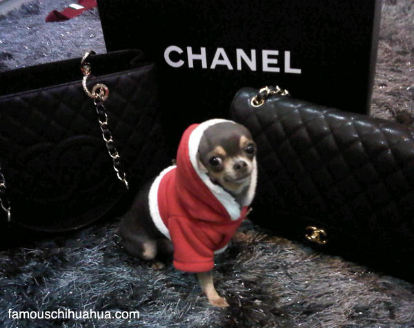 get a taste of my world and become a chihuahua fashionista and shop for the latest and greatest in fashionable chihuahua clothing for girls!