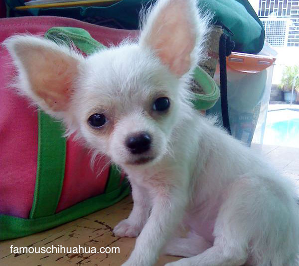 i'm chloe, a long haired chihuahua puppy from the philippines!