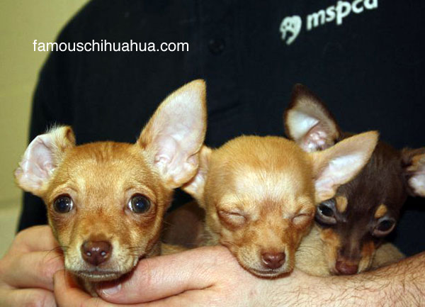 chihuahua triplets born without front legs
