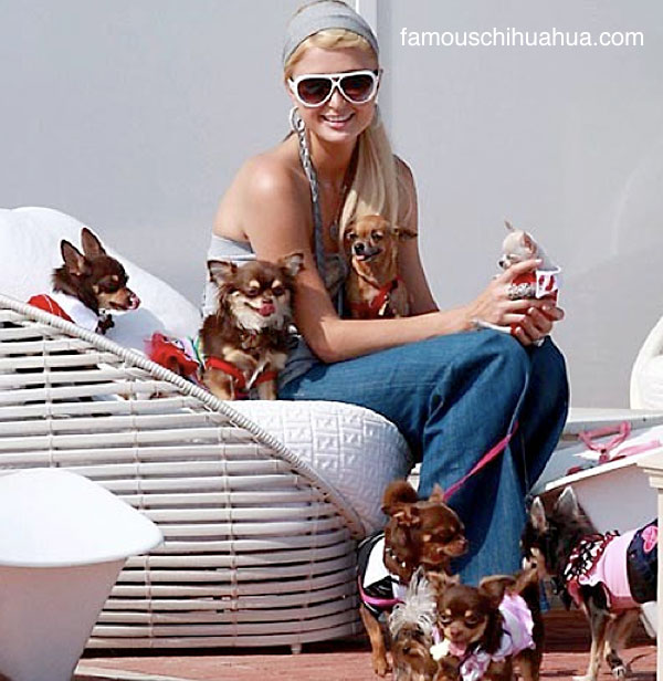 is paris hilton abusing chihuahua breeding privileges?