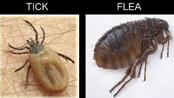tick or a flea?
