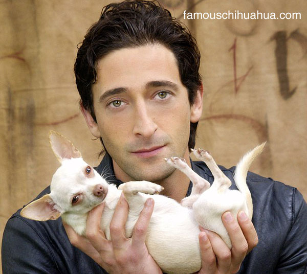 adrien brody and his chihuahua ceelo, which one is cuter?