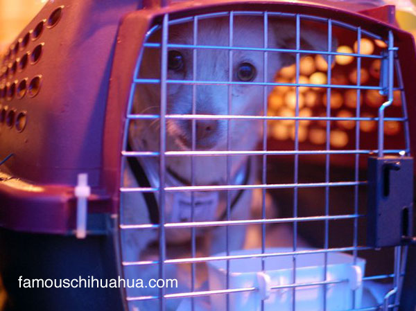 katherine heigle rescues beverly hills chihuahuas