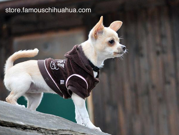 kahlua strikes a pose in her famous chihuahua hoodie
