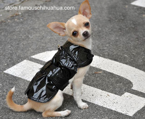kahlua strutting her stuff in her famous chihuahua raincoat!