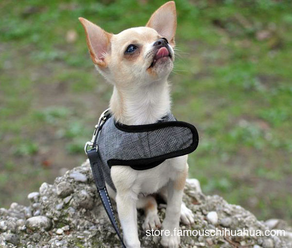kahlua geared up for her walk in her fabulous new dog harness!