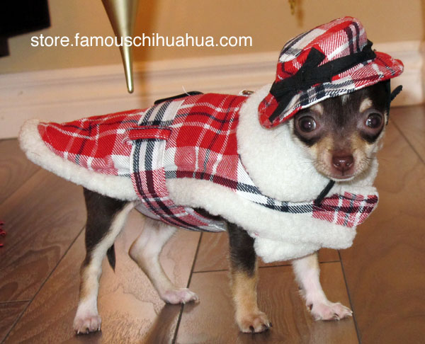 i'm a cutie in my highland dog coat and there ain't no buts about it!