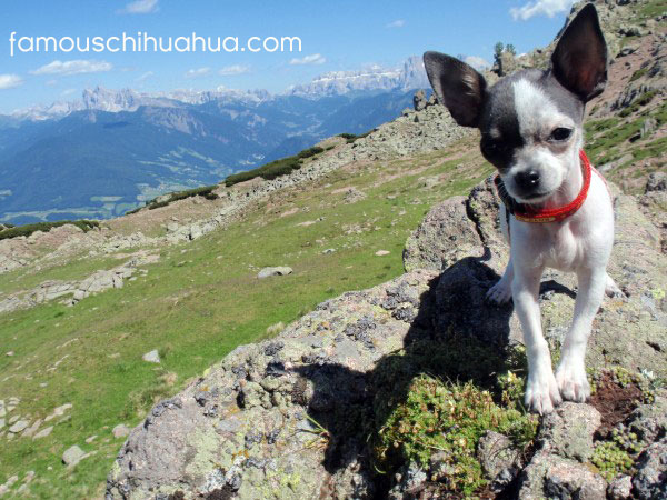 hello world, i'm peanut the chihuahua! pray for me!
