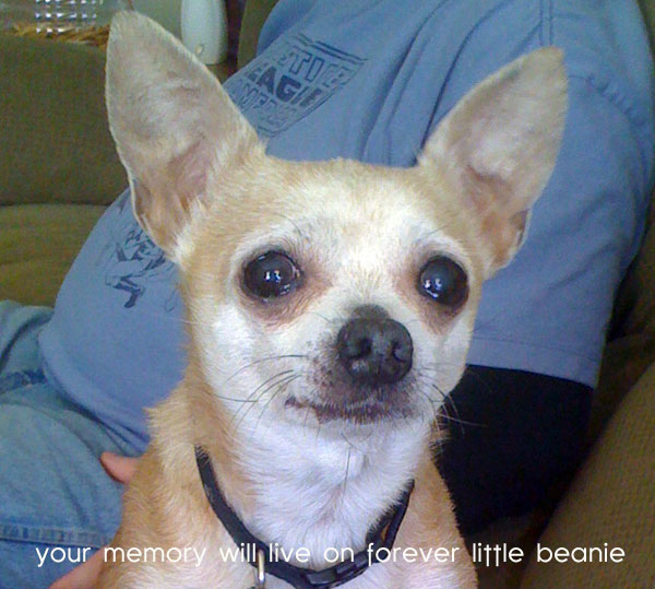 beanie, the chihuahua whose memory will live on forever