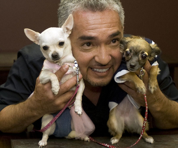 tune into cesar milan's the dog whisperer and discover tips and tricks to train your chihuahua!