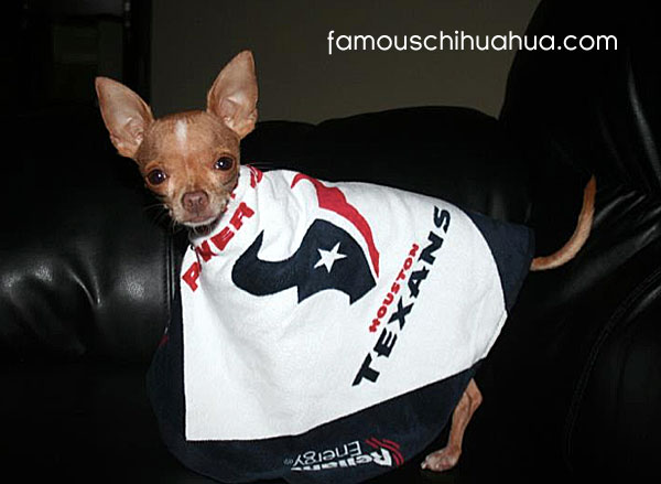 chico, the mighty chihuahua houston texans fan!