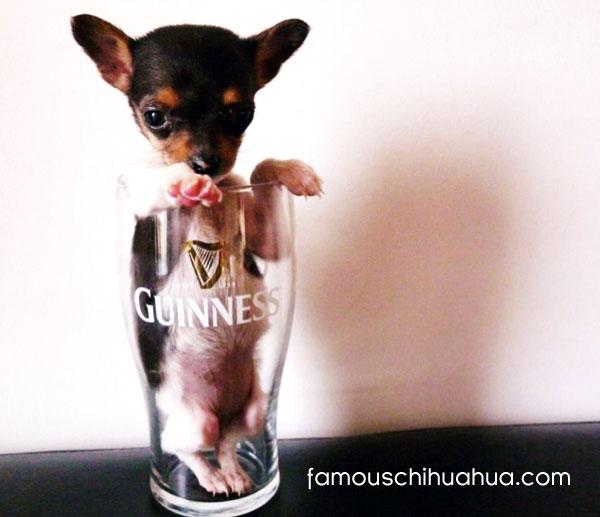 thirsty chihuahua!