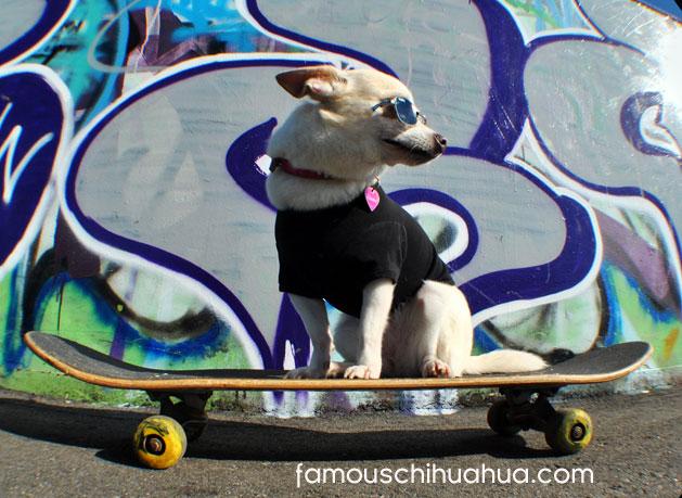 the incredible skateboarding chihuahua!