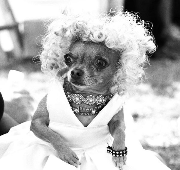 marilyn monroe reincarnated as a chihuahua