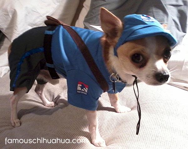 ding dong … chihuahua postman calling!