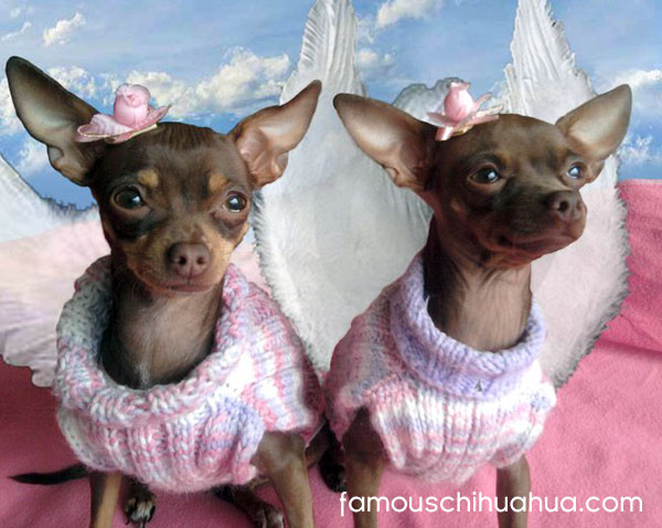 chihuahua guardian angels, sooki and belle!