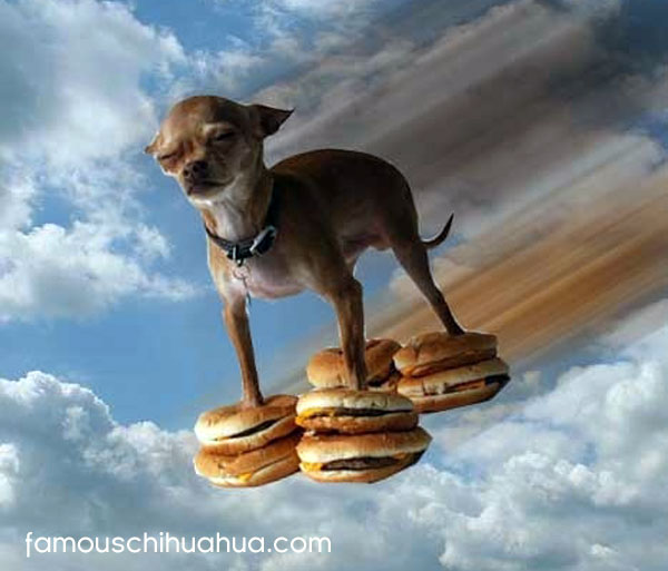 chihuahua flys on hamburgers!