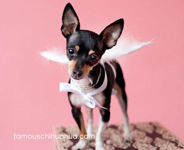 chihuahua angel!