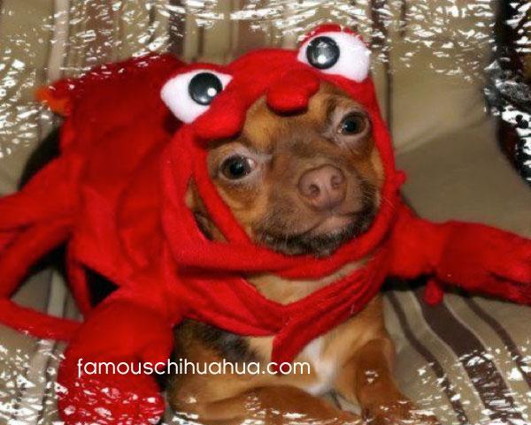 chihuahua lobster!