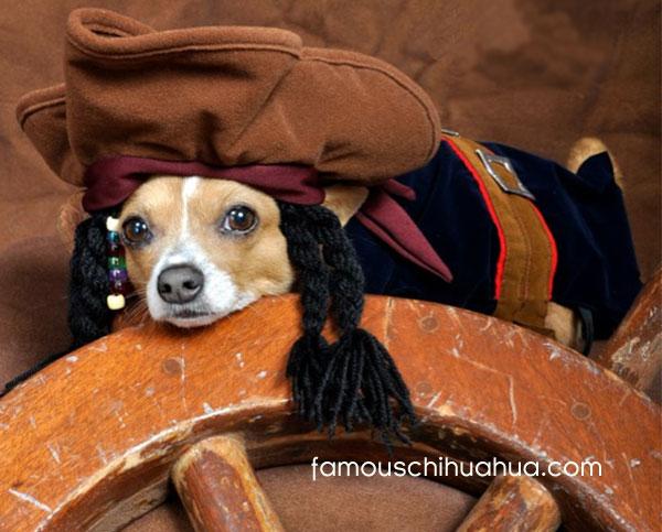 chihuahua pirate!
