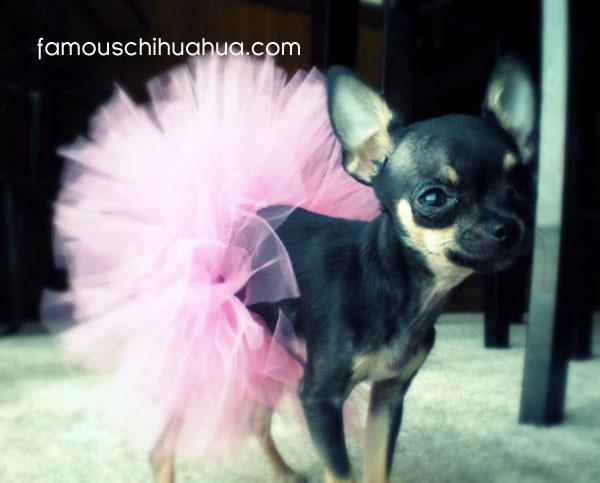 chihuahua ballerina!