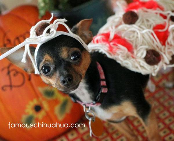 chihuahua spaghetti and meatballs!