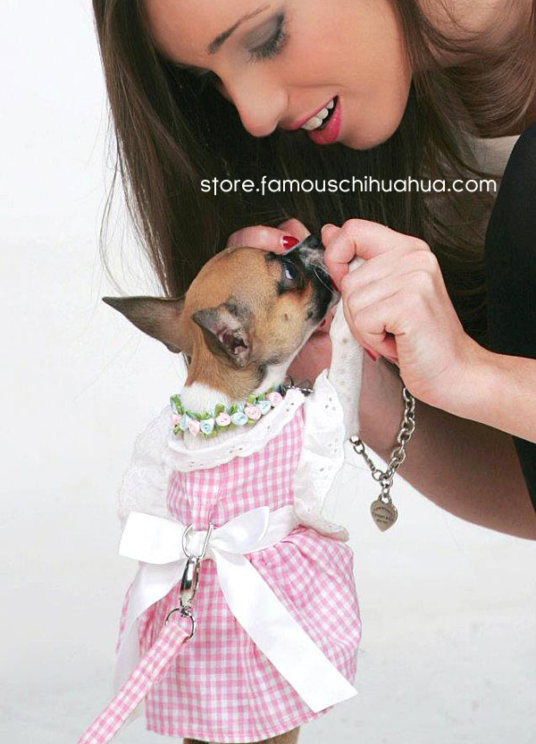 world's cutest famous chihuahua models adorable pink dog dress!