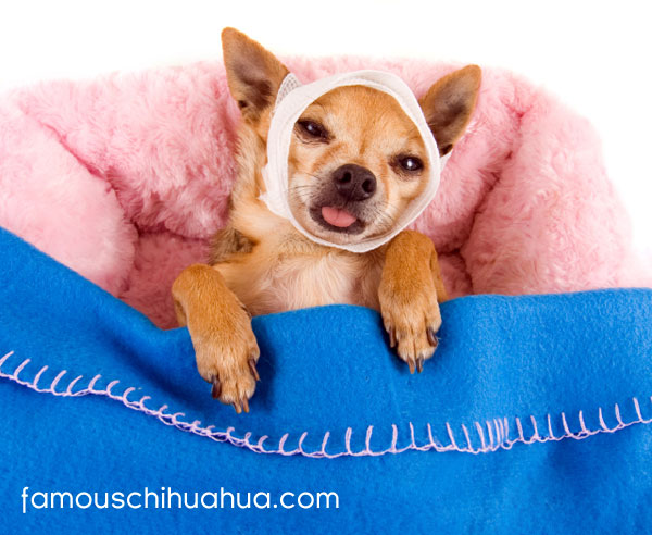 how much do you love your chihuahua?