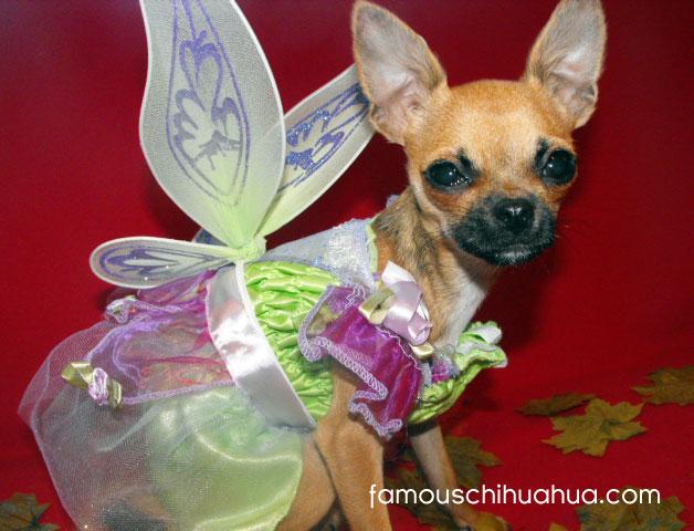 do you believe in chihuahua fairies?