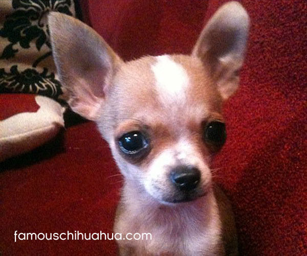 little william-henry the rescue chihuahua