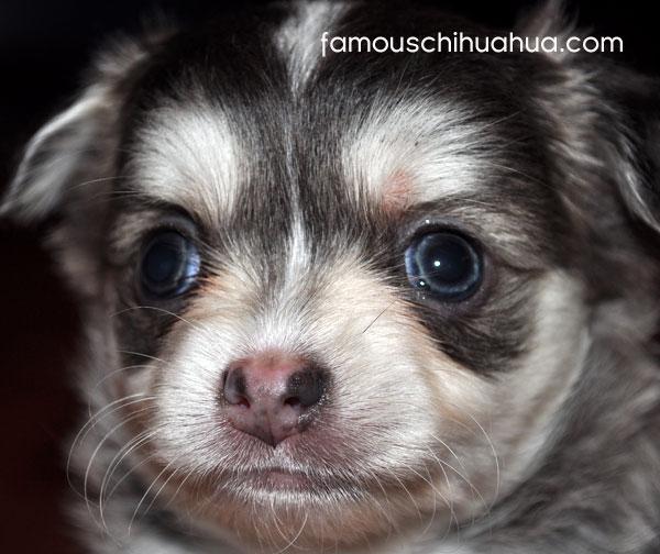 yoda, a blue eyed chihuahua puppy from australia