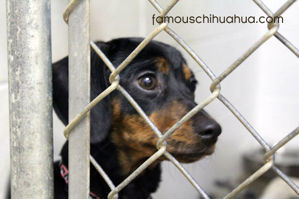 help save the unwanted chihuahuas of california!