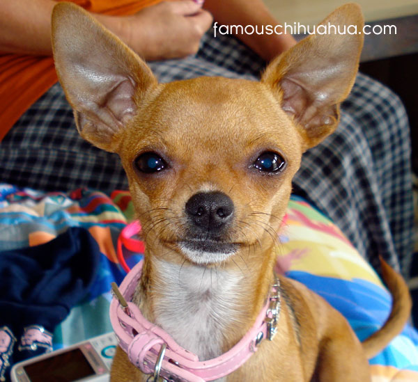 kaleah the chihuahua in her stunning pink genuine leather dog collar