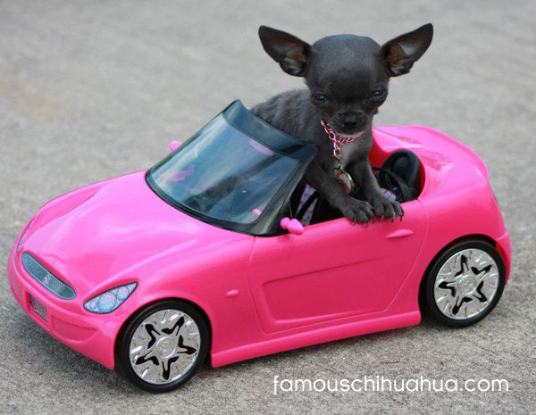 teacup blue chihuahua drives a pink convertible!
