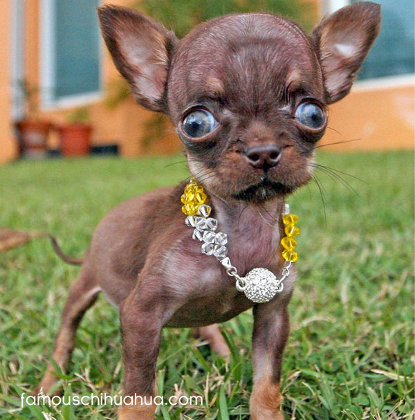 6,35 centimeters in height and 170 grams, make the puerto rican chihuahua milly, supposedly the smallest dog in the world