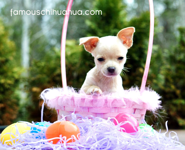 sugar, the winner of the 2012 famous chihuahua easter picture contest!