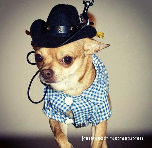 cowboy chihuahua!