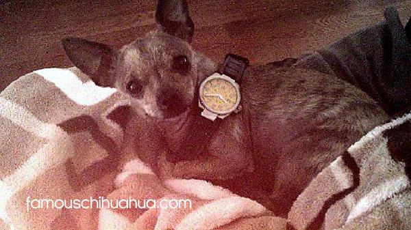 chihuahua watchdog!